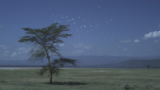 LA WS Great White Pelicans and other birds circling over tree at Lake Nakuru