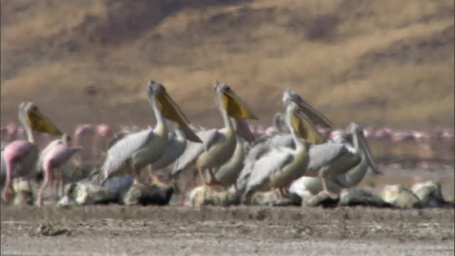 Great white pelicans (Pelicanus onocrotalus) in heat haze, Lake Magadi, Kenya