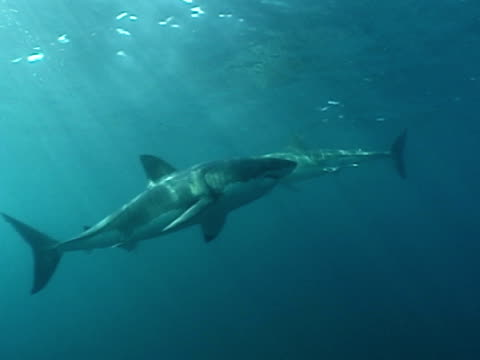 great white shark (carcharodon carcharias), 3 swim around.  south africa - robbe stock-videos und b-roll-filmmaterial
