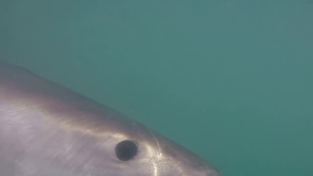 great white shark attacking, gansbaai, south africa - aggression stock videos & royalty-free footage