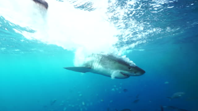 Great white shark attacks bait with it's mouth open in front of the camera, South Neptune Islands group, South Australia.