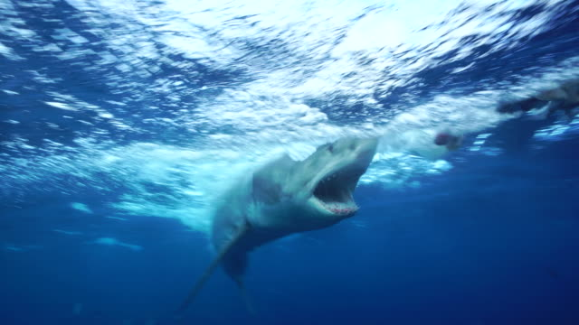 great white shark attacks bait with it's mouth open in front of the camera, south neptune islands group, south australia. - hunting stock videos & royalty-free footage