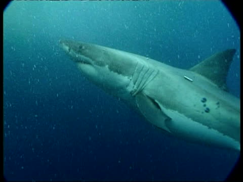 vídeos de stock, filmes e b-roll de cu great white shark attracted by bait, turns and attacks camera, camera surfaces - vadear