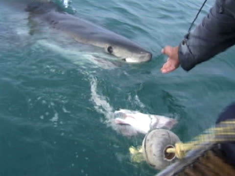 great white shark (carcharodon carcharias), bites at bait at back of boat then manhandled by guy.  south african waters - maul stock-videos und b-roll-filmmaterial