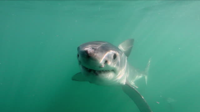 great white shark biting - shark stock videos & royalty-free footage