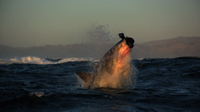 great white shark breach shot in beautiful natural light - seal animal stock videos and b-roll footage