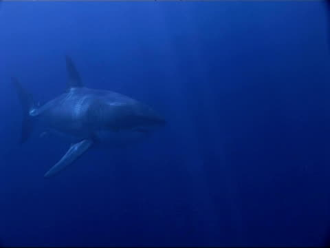 ms great white shark, carcharodon carcharias, swimming to camera through blue water, guadalupe island, pacific ocean - one animal stock videos & royalty-free footage