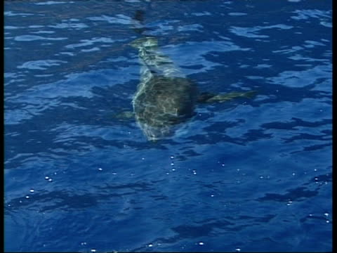 ms great white shark circles bait buoy with tip of dorsal fin & tail visible above surface, quickly flicks tail around, topside, guadalupe island, pacific ocean - dorsal fin stock videos & royalty-free footage