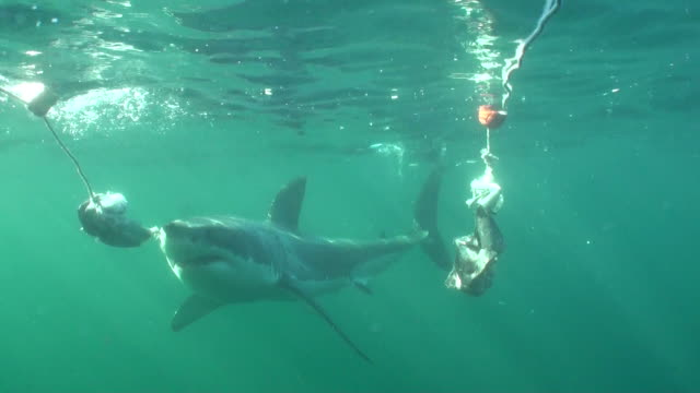 Great white shark comes in close to look in the cage, Seal Island, False Bay, South Africa.
