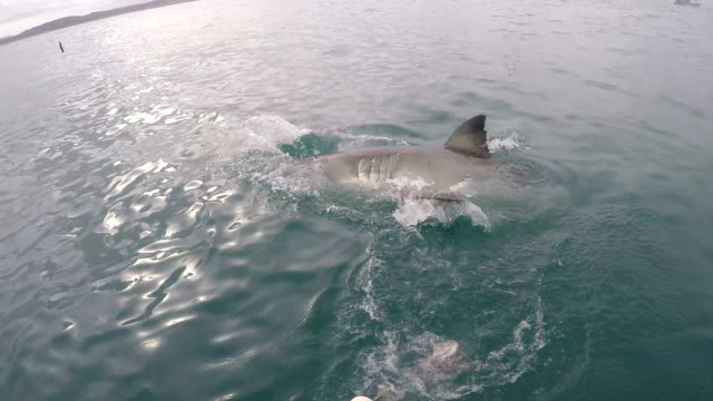 Great white shark comes to surface, Gansbaai, South Africa