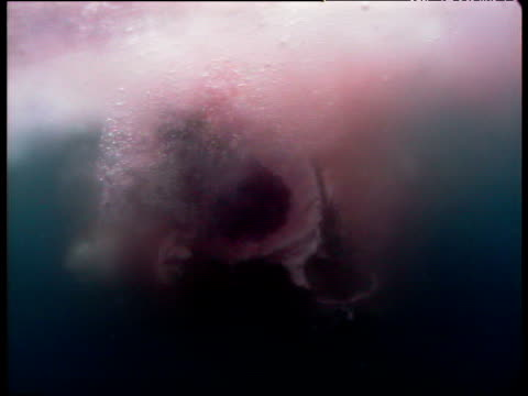 Great White shark devours a dead elephant seal