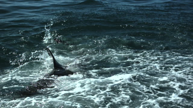 great white shark dorsal and caudal fin in ocean - rückenflosse stock-videos und b-roll-filmmaterial