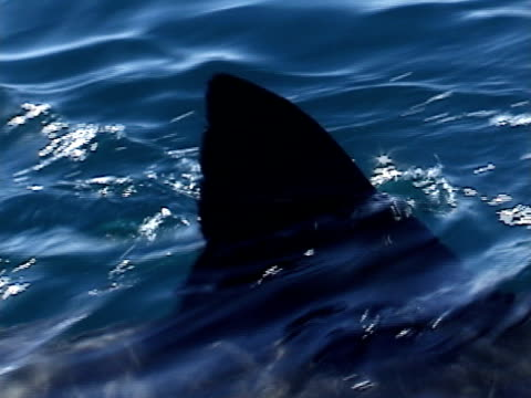 Great white shark (Carcharodon carcharias) dorsal fin at surface. Cape Province.  South Africa