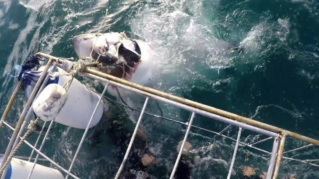great white shark gets bait and shakes its head in aggression, gansbaai, south africa - cage stock videos & royalty-free footage