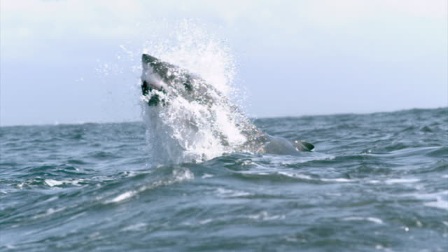 a great white shark grabs bait and leaps from the water. available in hd. - hai stock-videos und b-roll-filmmaterial