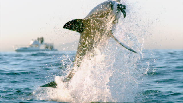 vidéos et rushes de a great white shark grabs bait and leaps from water. available in hd. - chasser
