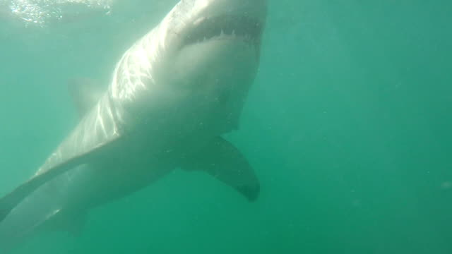 Great white shark in attack mode, Gansbaai, South Africa