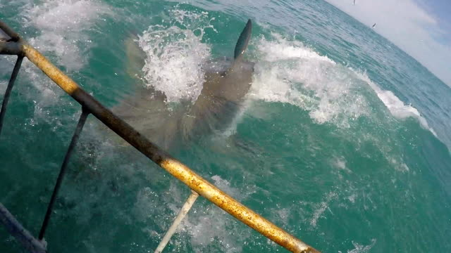 great white shark jumps out water and then passes cage, gansbaai, south africa - hai stock-videos und b-roll-filmmaterial