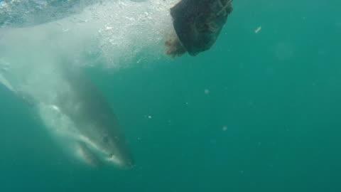 vídeos y material grabado en eventos de stock de great white shark jumps sideways at bait, gansbaai, south africa - grupo mediano de animales