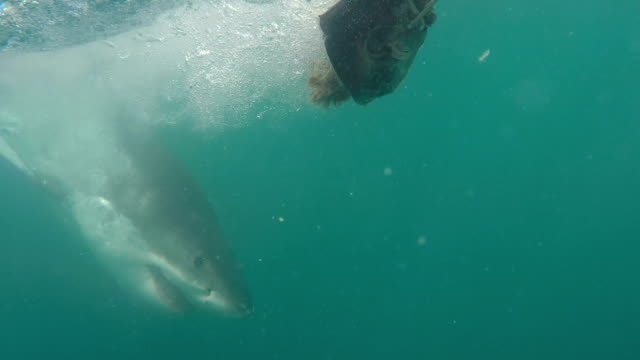 great white shark jumps sideways at bait, gansbaai, south africa - mittelgroße tiergruppe stock-videos und b-roll-filmmaterial