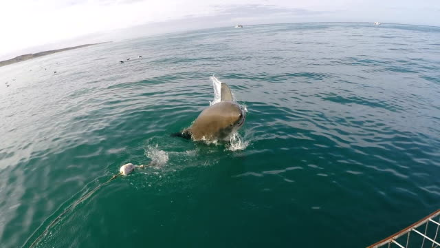 great white shark partially breaches the water, gansbaai, south africa - cage stock videos & royalty-free footage