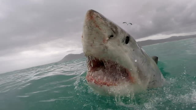 great white shark partially breaches with mouth wide open showing all teeth, gansbaai, south africa - shark stock videos & royalty-free footage