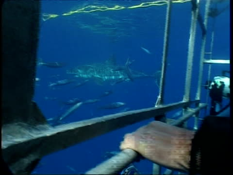 MS Great White shark passing divers in shark cage, Mexico