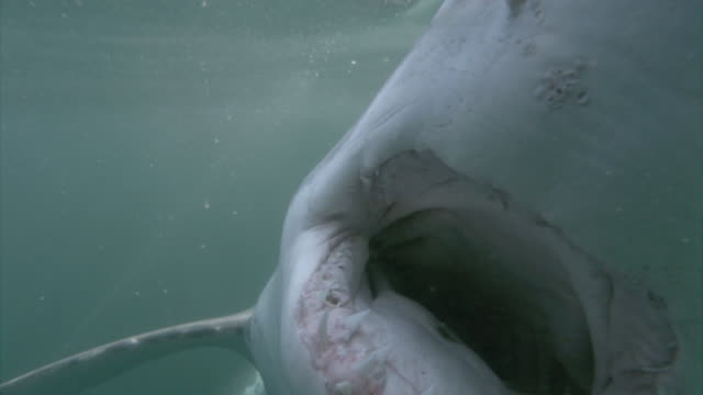 vidéos et rushes de a great white shark shows its large teeth as it attempts to bite. available in hd. - chasser
