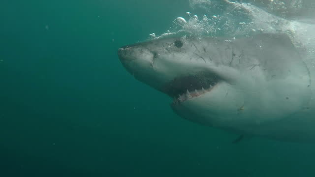 great white shark shows off all his teeth while doing a partial breach, gansbaai, south africa - aggression stock videos & royalty-free footage