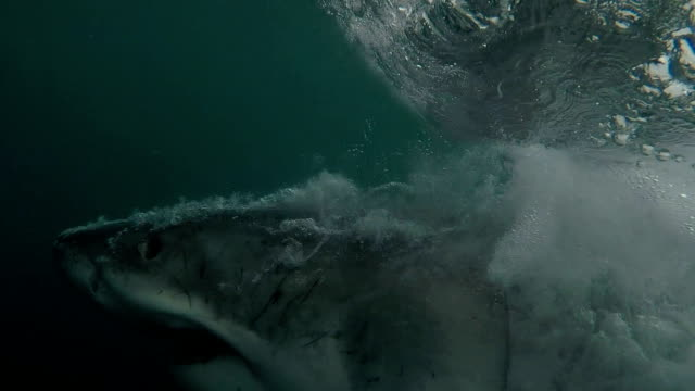 vídeos de stock e filmes b-roll de great white shark shows off all his teeth while doing a partial breach, gansbaai, south africa - tubarão