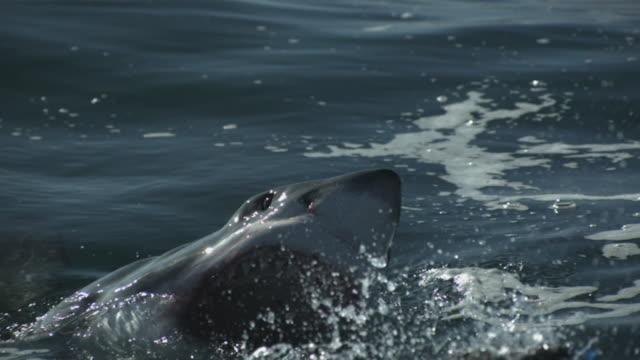stockvideo's en b-roll-footage met great white shark- side veiw, breaking the surface - mond open