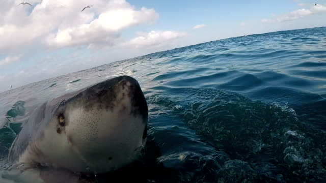 great white shark spy hopping, gansbaai, south africa - mittelgroße tiergruppe stock-videos und b-roll-filmmaterial