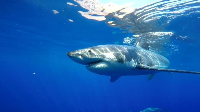 vidéos et rushes de great white shark swimming amongst yellow tail tuna, guadalupe island, mexico. - cage