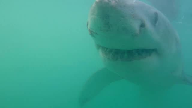 Great white shark swimming close to the camera, Gansbaai, South Africa