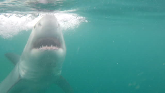 great white shark swimming close to the camera, gansbaai, south africa - aggression stock videos & royalty-free footage