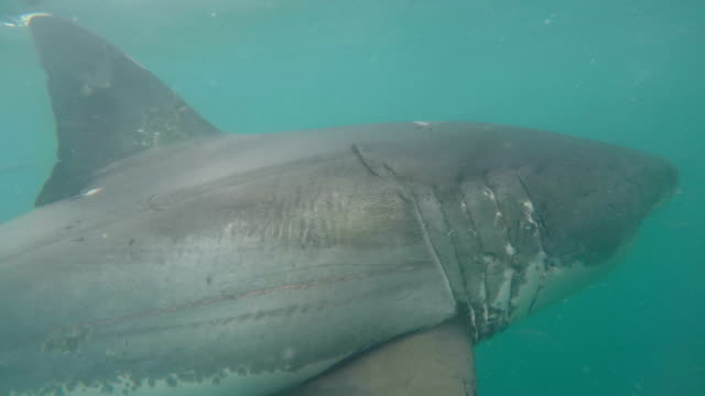 great white shark swimming close to the camera, gansbaai, south africa - shark stock videos & royalty-free footage