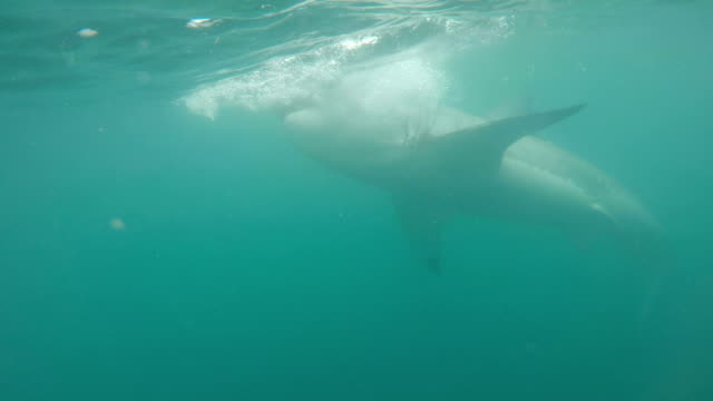 great white shark swimming close to the camera, gansbaai, south africa - fishing stock videos & royalty-free footage