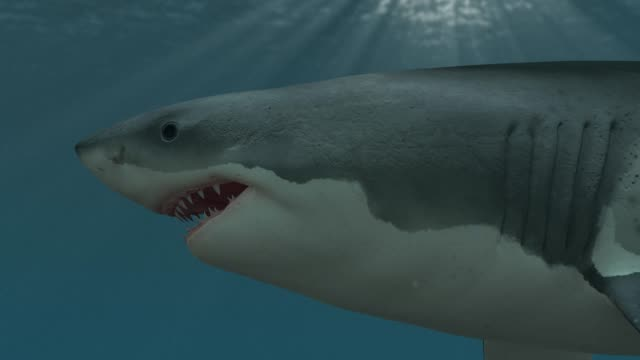 Great white shark swimming close up