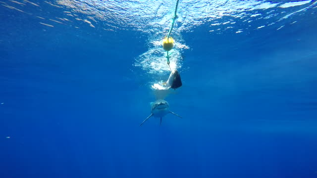 Great white shark swimming in close to the cage, Guadalupe Island, Mexico.
