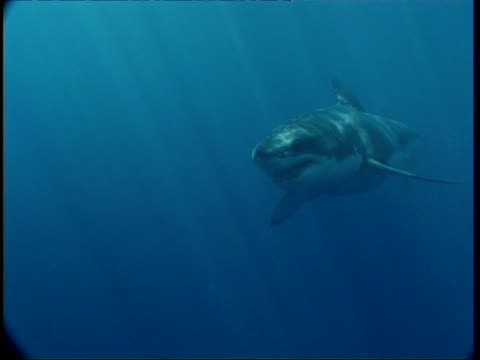 ms great white shark swimming in sunlit blue water, swims to camera, guadalupe island, pacific ocean - one animal stock videos & royalty-free footage