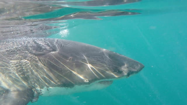 great white shark swimming on surface of water with broken fin, gansbaai, south africa - fin whale stock videos & royalty-free footage