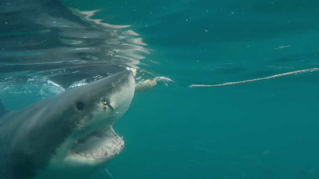vidéos et rushes de great white shark swimming slowly with its mouth open close to the camera, gansbaai, south africa - bouche ouverte