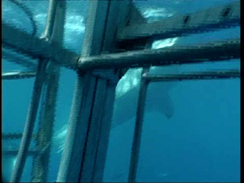 MS Great White Shark swimming to and eating bait in front of shark cage, Guadalupe Island, Pacific Ocean