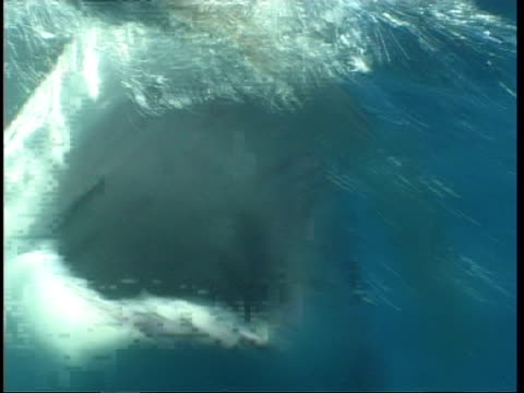 mcu great white shark swimming to camera following bait, guadalupe island, pacific ocean - chewing stock videos & royalty-free footage