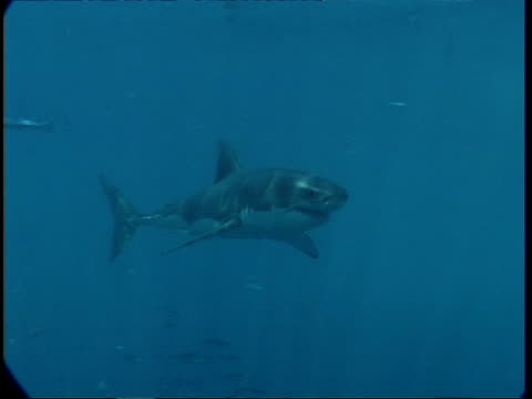 MS Great White Shark swimming towards and attacking shark cage, Guadalupe Island, Pacific Ocean