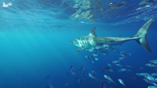 great white shark swims across in front of camera with a school of trevally jacks following, south neptune islands group, south australia. - south australia bildbanksvideor och videomaterial från bakom kulisserna