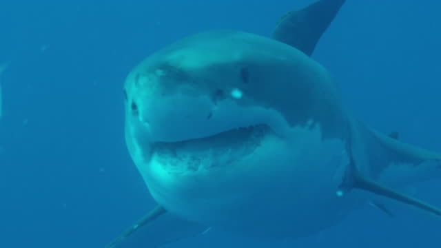 Great White Shark Swims by Cage