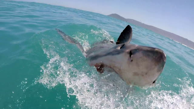 Great white shark swims chases bait and partically breaches, Gansbaai, South Africa