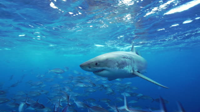 Great white shark swims in close in front of the camera among a large school of trevally, South Neptune Islands group, South Australia.