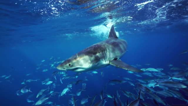 Great white shark swims in close to camera among a large school of jack fish,  South Neptune Islands group, South Australia.